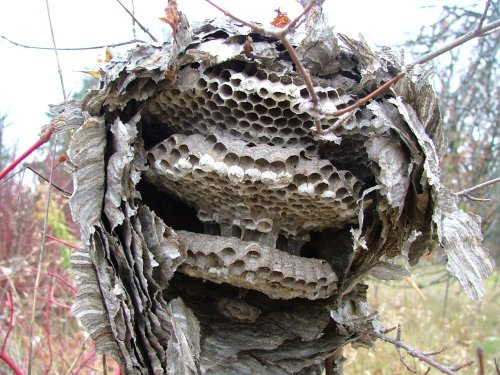 Hornet Nest Removal - How To Get Rid of Hornets Safely and ...