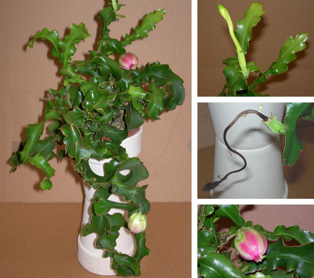 Viveros vangarden dos variedades m s de cactus epifitos for Cactus variedades