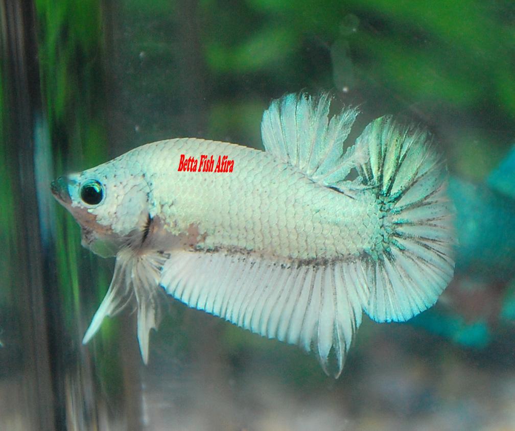 Betta fish afira betta hmpk 13 april new all sold out for All about betta fish