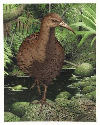gruiformes extintos rascon gigante de las islas Chatham Diaphorapteryx hawkinsi