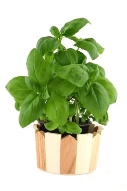 Basilico la primavera e 39 arrivata e 39 l 39 ora di piantarla for Coltivare il basilico