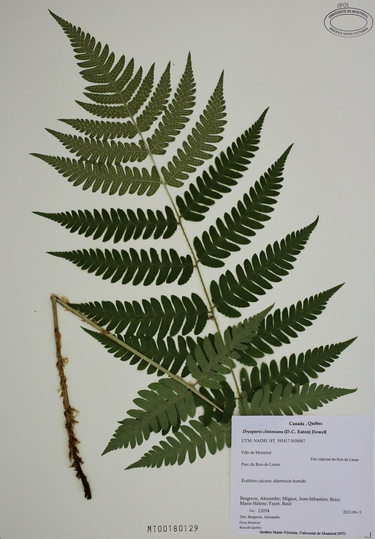 Dryopteris clintoniana