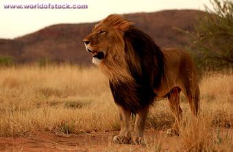 SINGA AFRIKA  (africa lions )