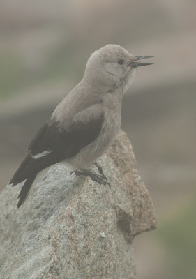 Clark's Nutcracker, Rocky Mountain National Park