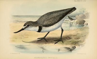 Ngutuparore (Wrybill)