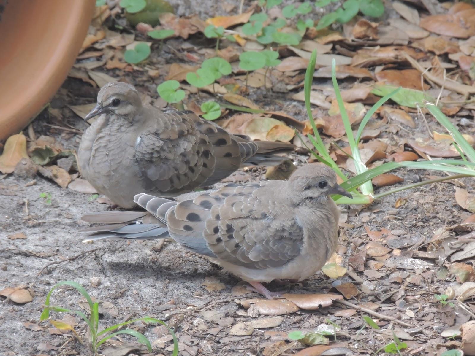 bird brainz birds birding and books backyard birding mourning