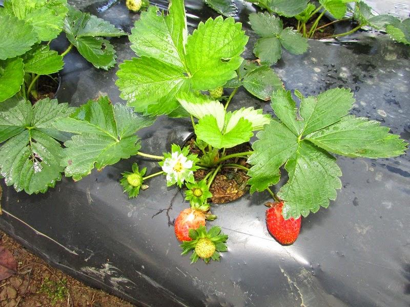 Gambar Tanaman Stroberry Merah Segar