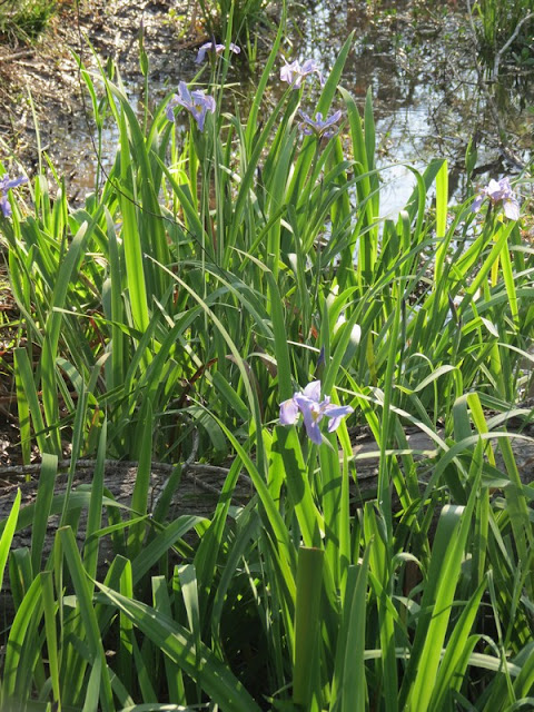 Irises at Armand Bayou Nature Center.