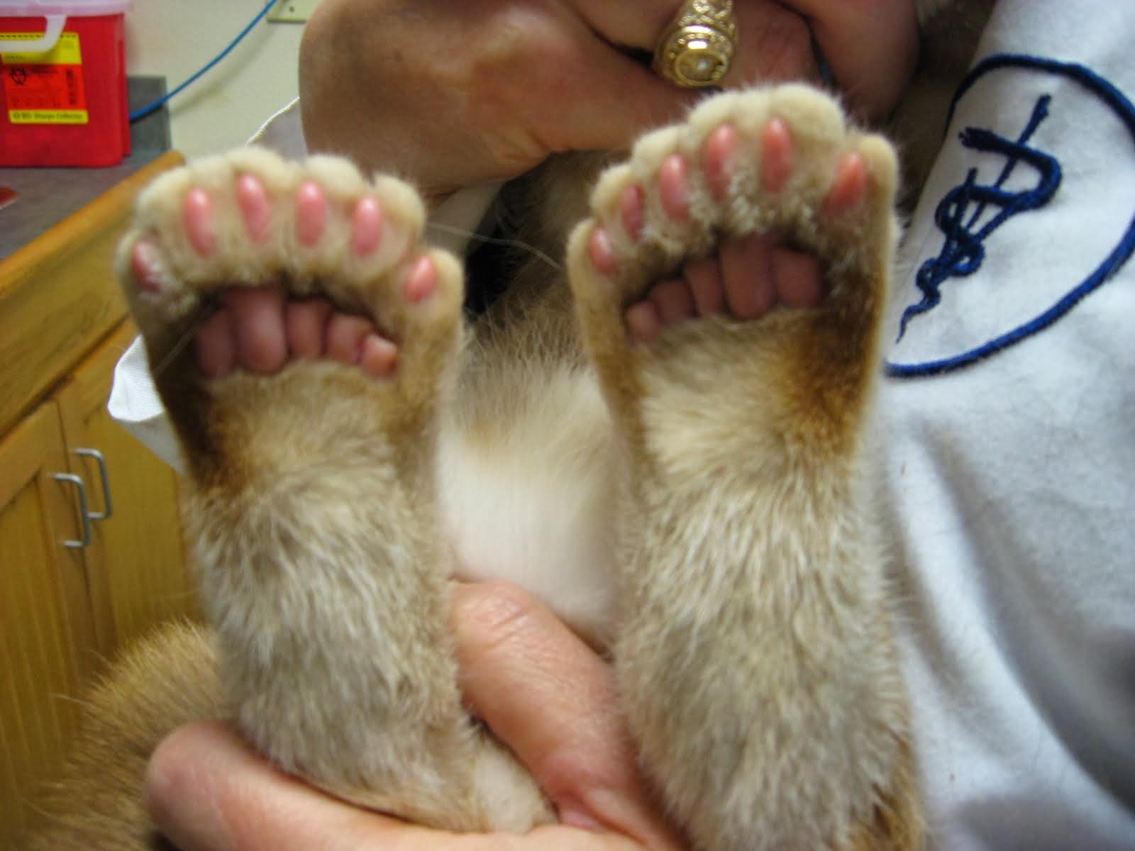 american polydactyl catOrange Polydactyl Cat