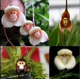 bunga anggrek monyet
