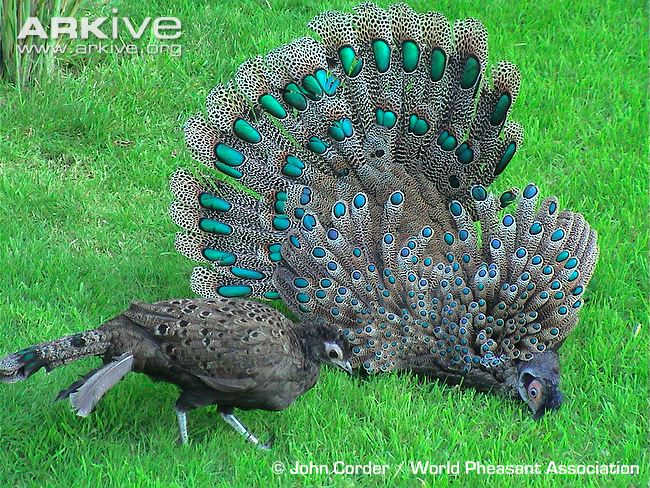Animal Zoo Life Peacockthe Peacockpeacocks Birdspeacock Uk