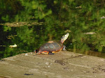 Turtle at Nolde
