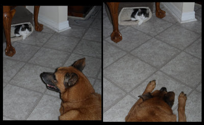Anakin the two legged cat &amp; our dog Buddy