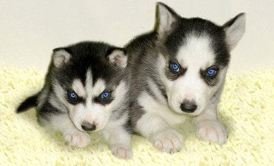 Wonderful Siberian Husky Blue Eye Adorable Dog - 1269901998_84370793_1-Pictures-of--Black-And-White-Siberian-Husky-Puppies-With-Blue-Eyes  2018_68622  .jpg