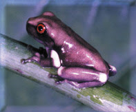 Poison Dart Frog Purple and Black