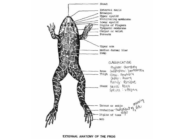 Frog Anatomy Labeling Frog External Anatomy