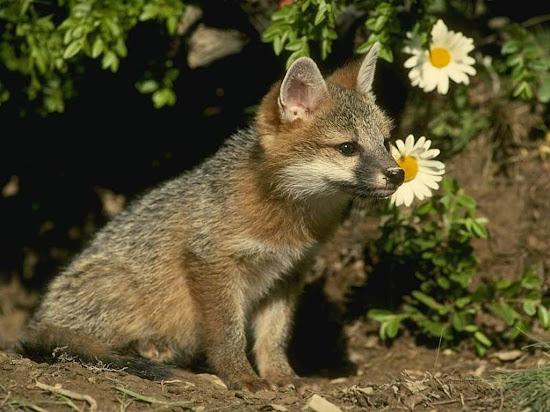 Que significa soñar con zorra o zorro
