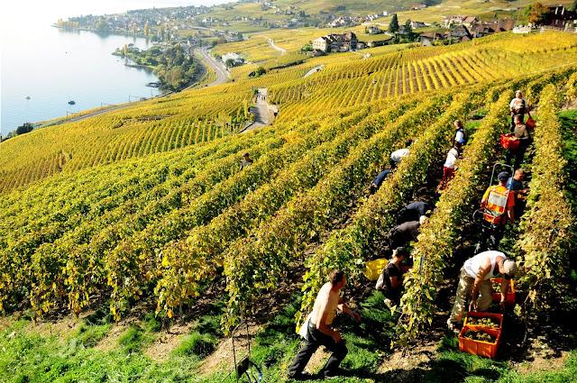 vendanges lavcaux vin blanc