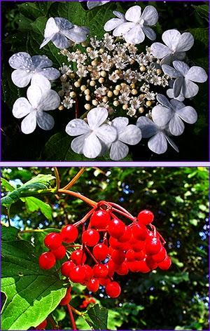 Калиновий цвіт і плоди калини звичайної