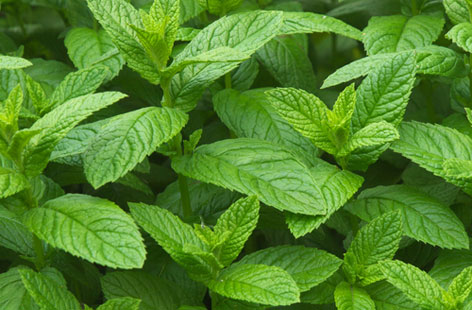 10 Reason Why You Should Grow Mint At Home