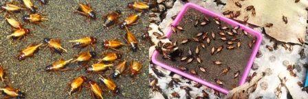 Budidaya Jangkrik | Ternak Jangkrik | Telur Jangkrik