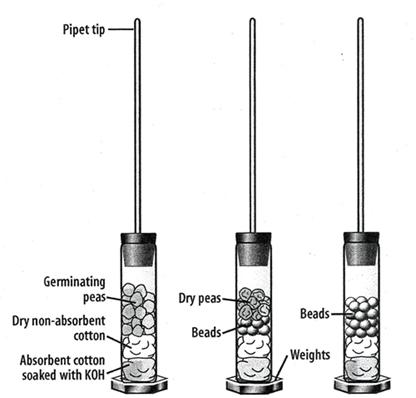 oxygen consumption during respiration mung beans Free essays on biology lab on the rate of oxygen uptake of mung beans of mung beans using a respirometer essays of oxygen uptake during respiration.
