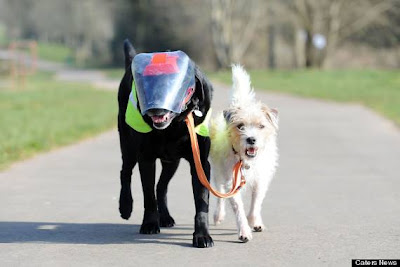 A tiny terrier has taken on the role of guide dog for a blind Labrador