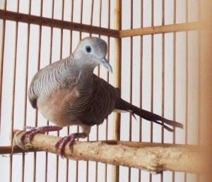 Foto Burung Derkuku Terbaik