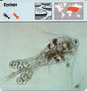Blog Safari Club, el Cyclops, uno de los crustáceos más minúsculos