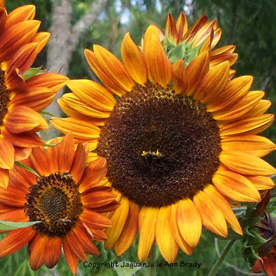 2 bees on pretty Autumn Beauty sunflower blossoms