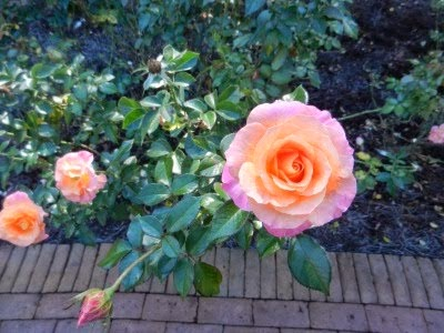 roses at Bellingrath Home & Gardens