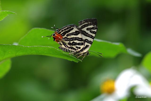 雞南山散步,虎灰蝶