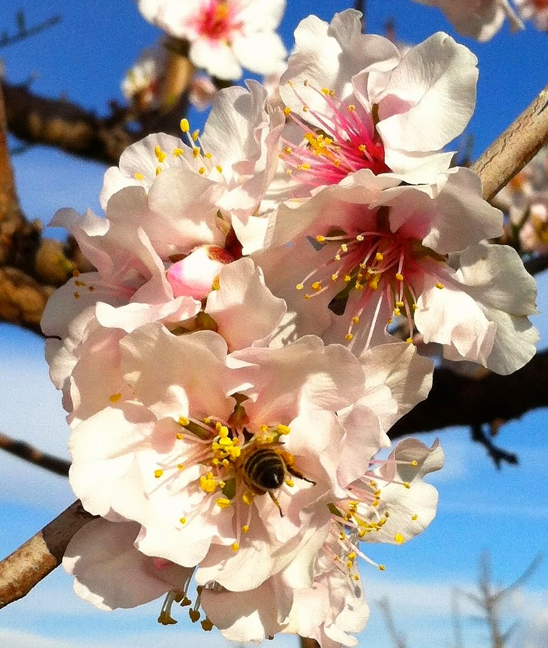 Bees are very busy thanks to almond trees blossom.