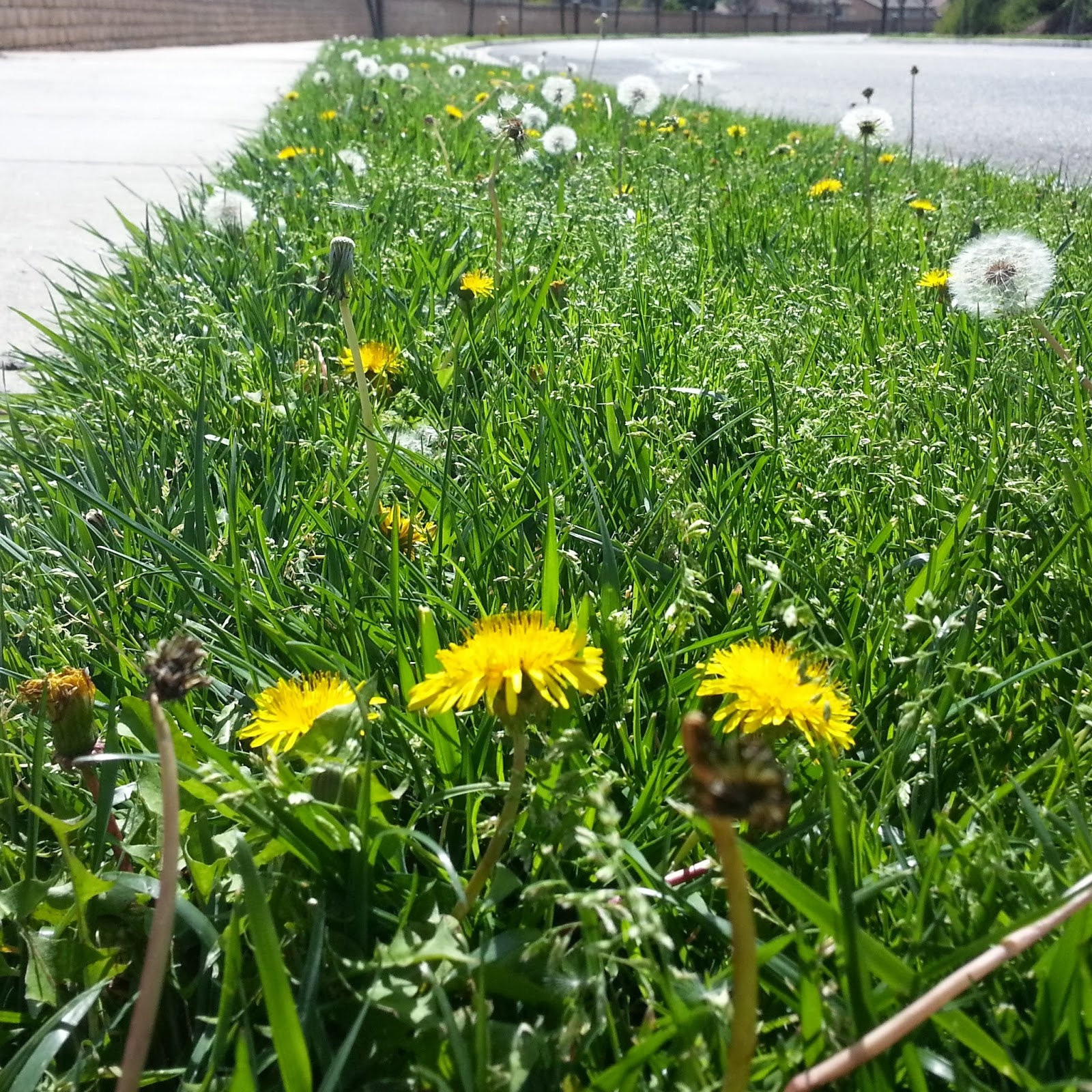 Dandelions in median strip