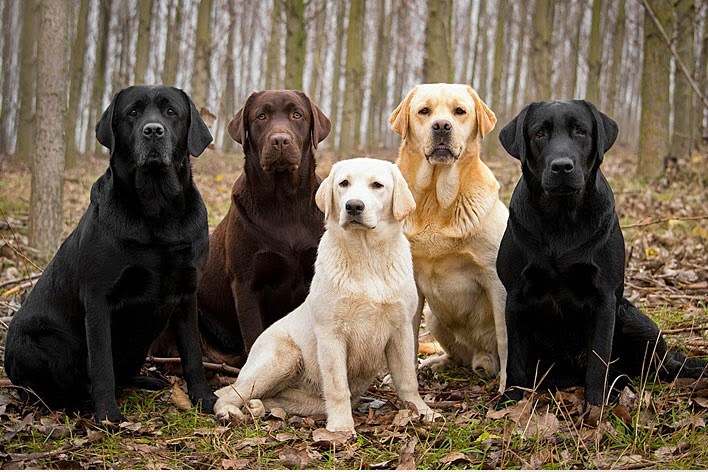 Everything About Your Labrador Retriever Luv My Dogs