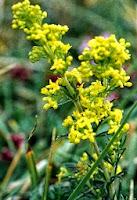 cum arata planta medicinala sanziana galbena