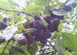 Plums Galore