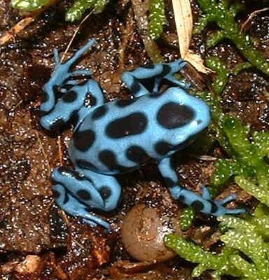 Por qué algunas ranas tienen la piel de colores brillantes ...