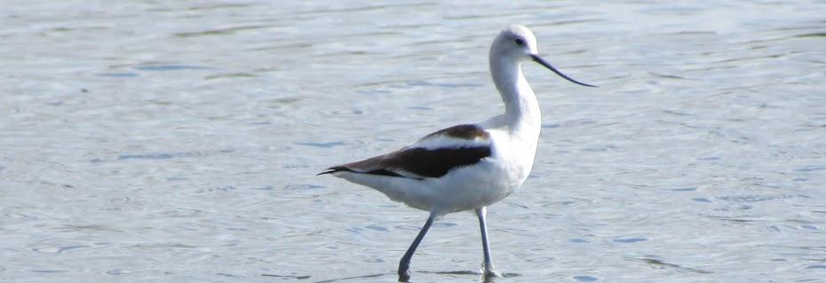 Long Island Birding