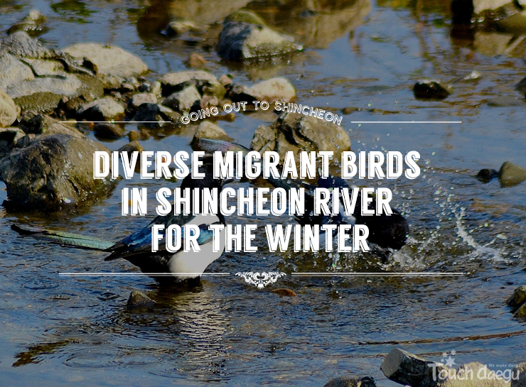Watching Diverse Migrant Birds in Shincheon River for the Winter