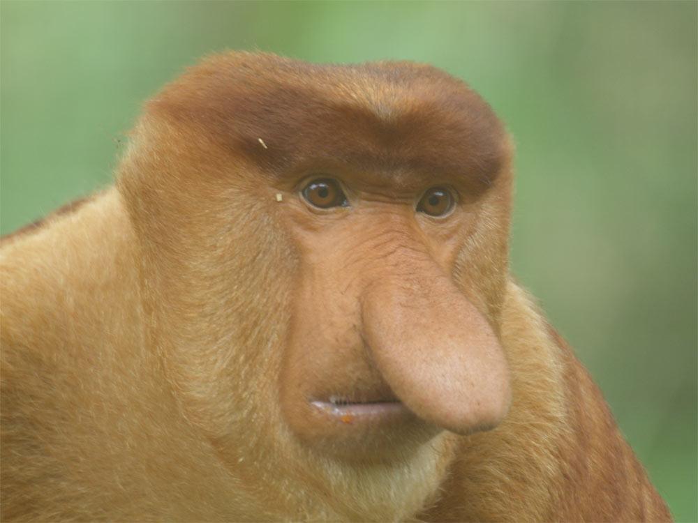 Funny Fat Monkeys Funny Proboscis Monkey