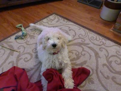 Lola, A Labradoodle-3 1/2 months