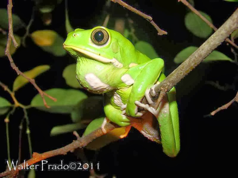 RedEyed Tree Frog Facts For Kids
