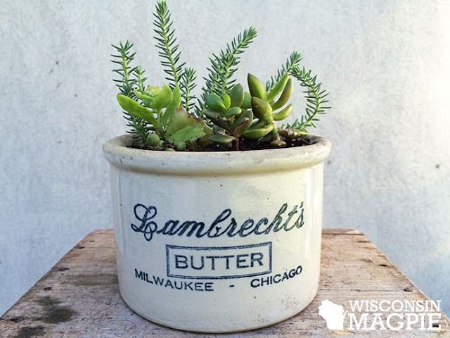 succulents in butter crock