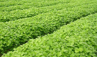 Mempercepat umur panen tanaman bayam organik