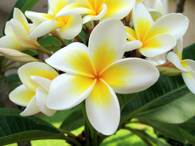 Bunga Kamboja Warna Warni