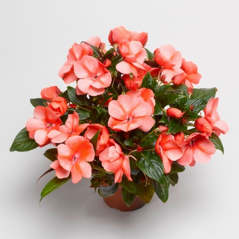 Gardening in vermont perennials and annuals new new guinea impatiens it is a showy full plant with huge flowers that present nicely above the foliage its color ranges from deep orange to light orange mightylinksfo