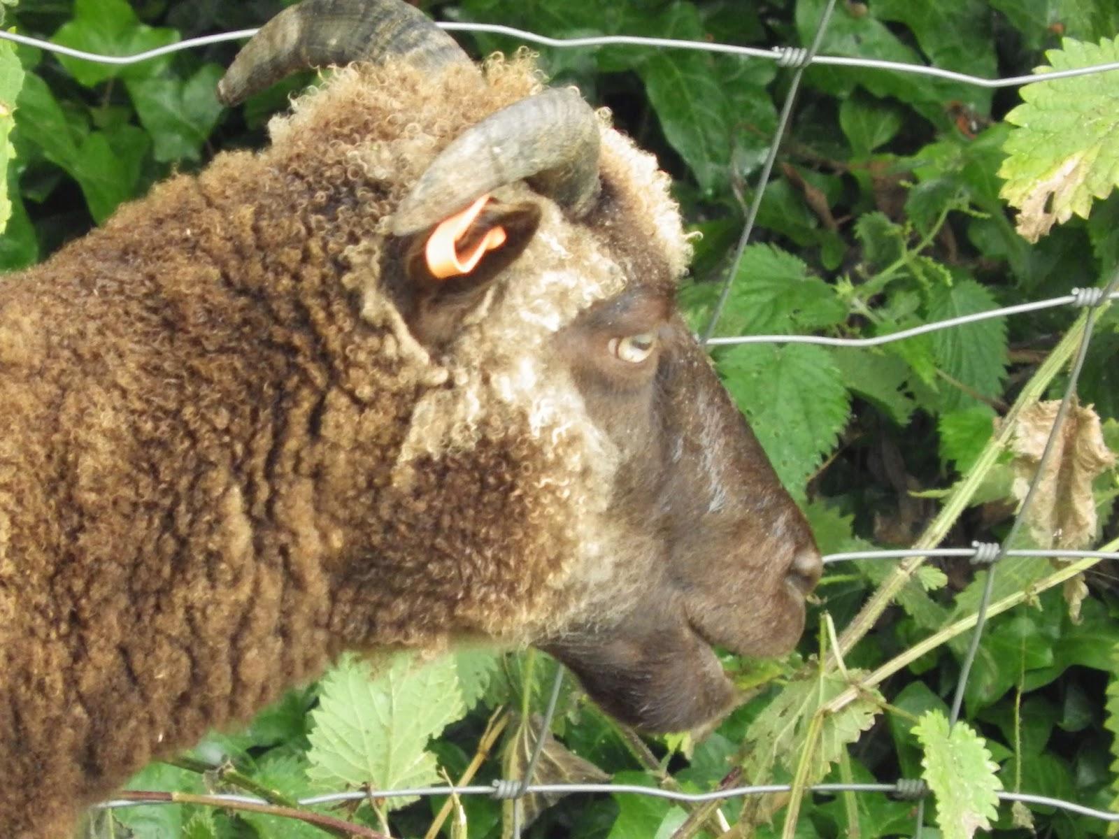 how to become a sheep farmer ontario