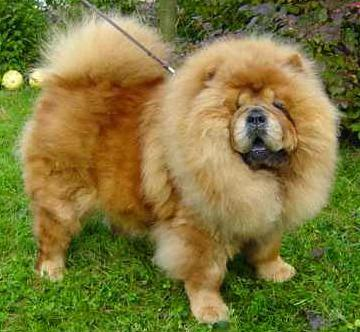 About Dog Chow Chow: How Well Is Your Chow Chow Groomed?