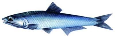 anchoa sudafricana Engraulis capensis